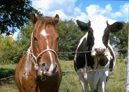 4H-horse-cow